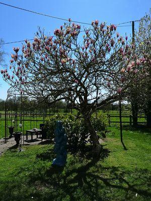 tulipier-le-Chezeau-2018-3