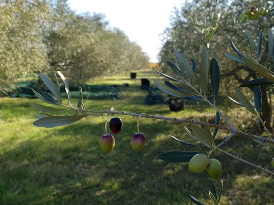 Majubier-Olives-1
