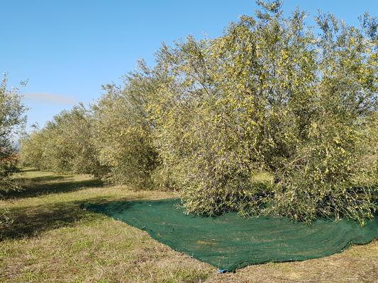 Majubiers-Olives-5