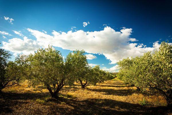 Fleur d'olive-Nissan Lez Enserune_18