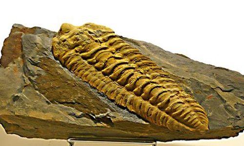 PCU - Musée du Cambrien - 004 -Fossile clair
