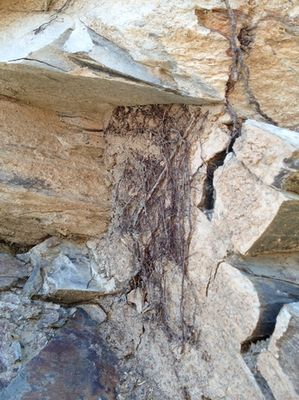 Racines de très vieux carignan dans les schistes