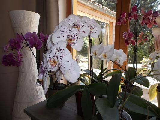 Orchidées plein sud dans la cuisine.