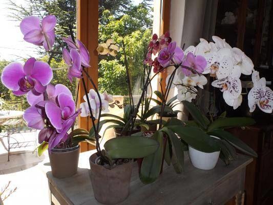 Orchidées exposées face à la terrasse de la cuisine.