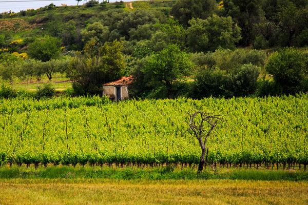 Paysages et vignoble - Les Vignerons d'Alignan-Neffies
