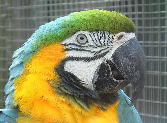 Ara bleu - Parc Ornithologique de Bretagne - Bruz