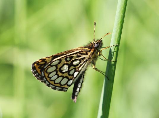 TOURBIERES DE SÉRENT - Papillon