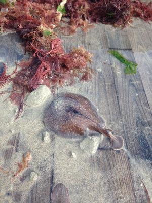 « Pêche du jour, petite raie torpille » Cherrueix, Baie du Mont Saint Michel