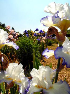 jardinsbroceliande_collection_iris