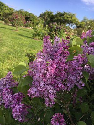 lilas_jardinsbroceliande_breal_estellegregoire