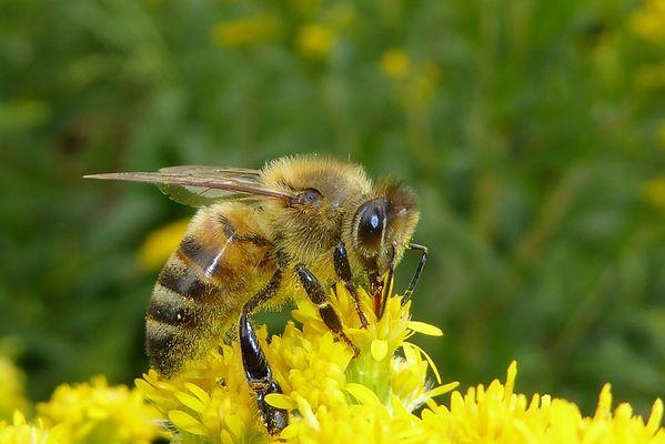 3 ROSTRENEN abeille pixabay