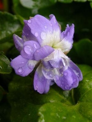 fleur violette TOULOUSE RN