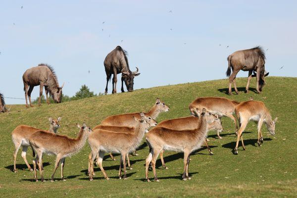 gnous et cobes african safari PLAISANCE