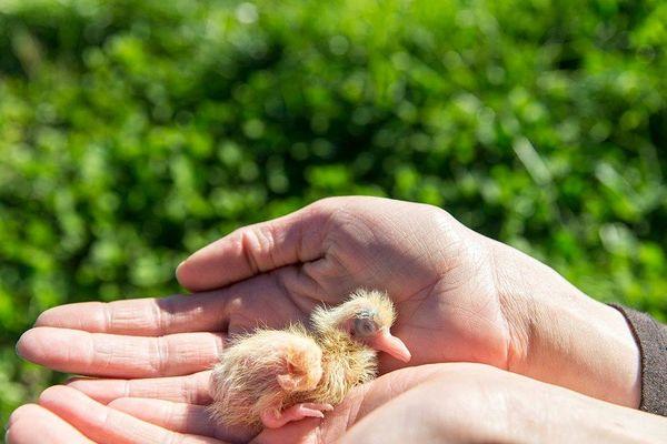 la-ferme-aux-pigeons-petit-pigeon