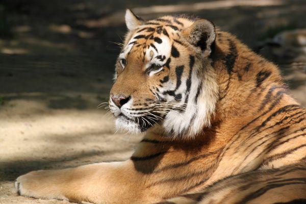 tigre  african safari PLAISANCE