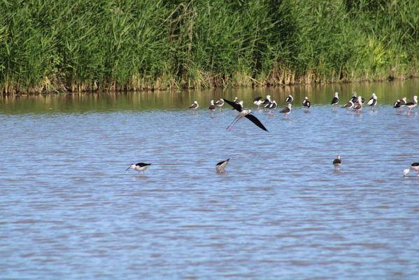 marais-poitevin-oiseau-faune-longeville