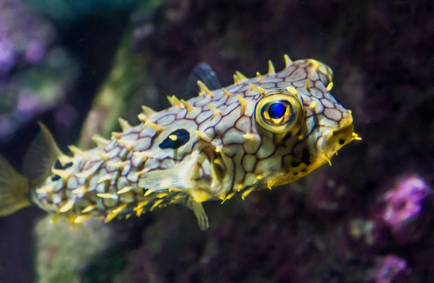 diodon(c)FALM-aquarium-larochelle