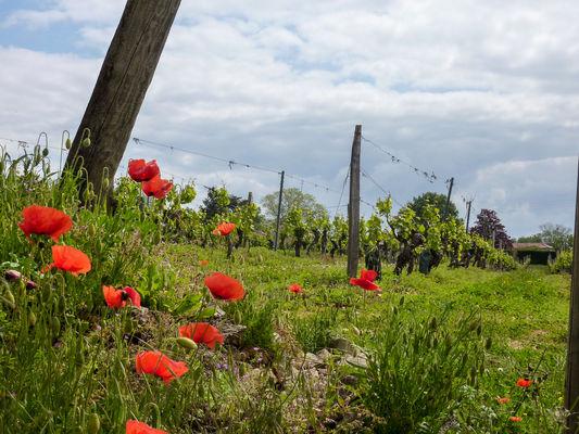 02Sérignac - Vignes et Coquelicots© Lot Tourisme - C. Sanchez
