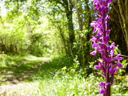 09Igue de Mont Fouillous - Orchis mâle© Lot Tourisme - C. Sanchez