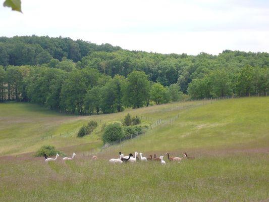 Alpagas du Quercy 8