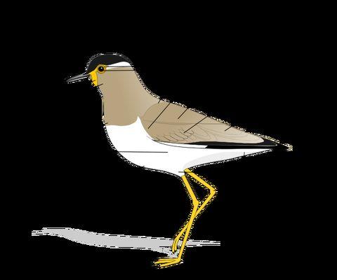 Birdmorphology-blank.svg