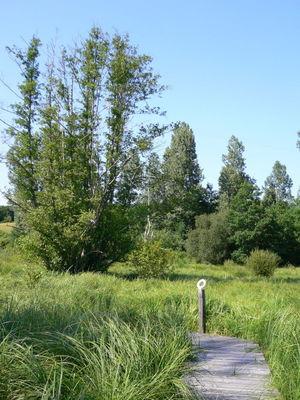 Roselière Marais des Arques