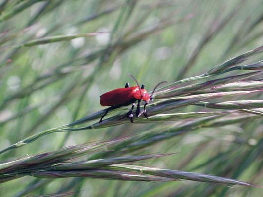 Petit Coléoptère de la Famille des Chrysomelidae