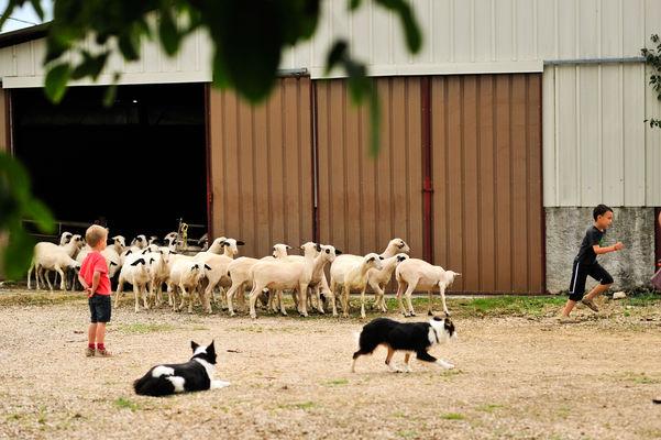 Découverte des moutons à lunettes du Quercy_02 © Lot Tourisme - C. ORY