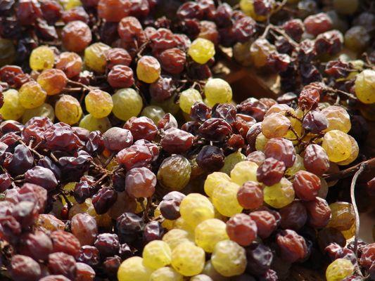 Domaine Chirac - Mage - Grappes de raisin