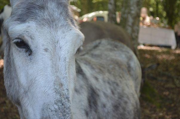 Foire du Dégagnazès - âne