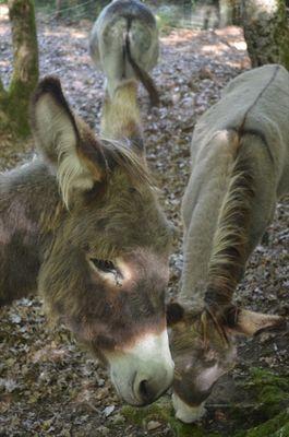 Foire du Dégagnazès - ânes