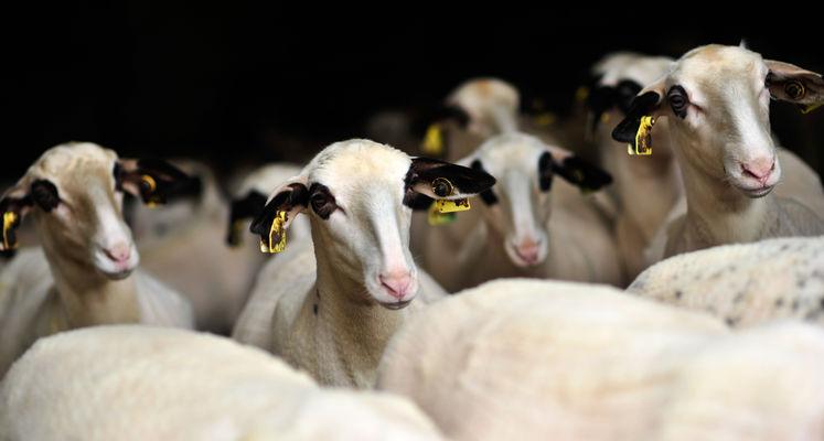 Les moutons à lunettes du Quercy_05 © Lot Tourisme - C. ORY