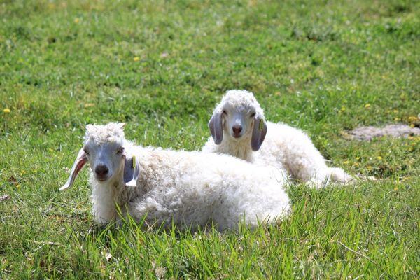 PCUMID046FS00009_4 Ferme de Siran-Chèvres couchées©GaelleTaillefer