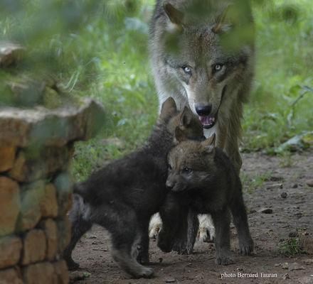 Parc Animalier Gramat Loup
