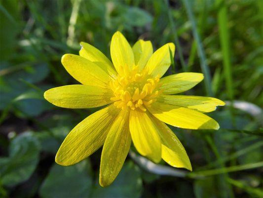 Ranunculus ficaria - balade 7 juillet©Primula