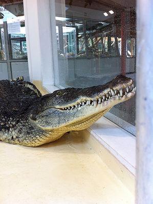 Reptiland_crocodile-nil-nenette2