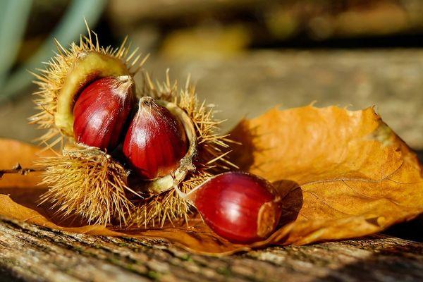 chestnut-1784282_1280©pixabay
