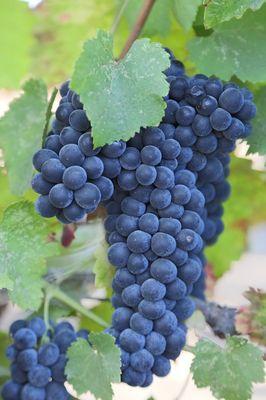 grapes-921467_12800169pixabay