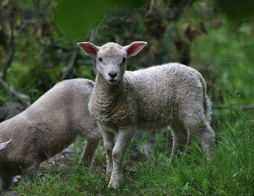 lamb-2352437_960_720