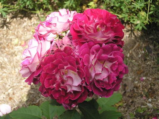 rose BMAS