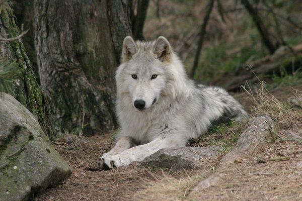 Loups du Gévaudan