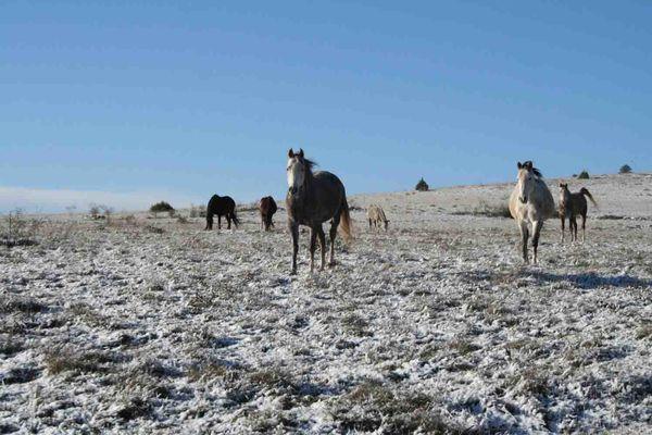 Les+chevaux+du+Vigos+en+hiver