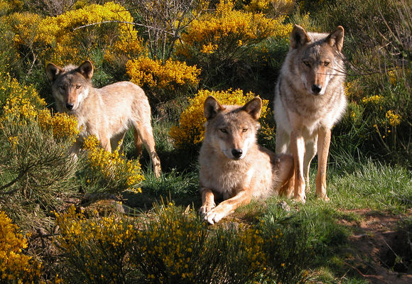 loups-du-gevaudan_01
