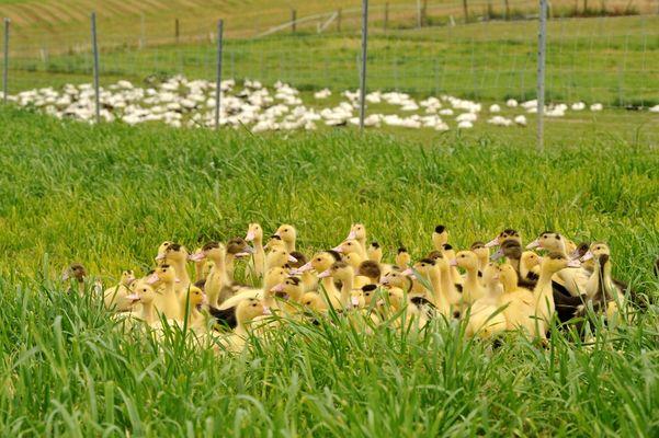 Montsoue_ferme de Bahus_canards en liberte