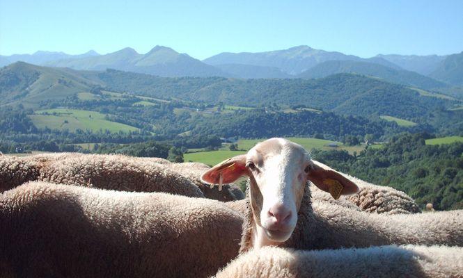 Ferme Casebonne - brebis face aux Pyrénées