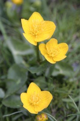 Fleur----Renoncule---Portrait---OT-Laruns
