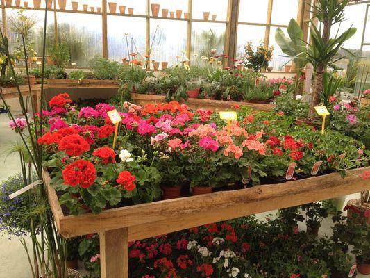 Jardinerie des Sources_géraniums
