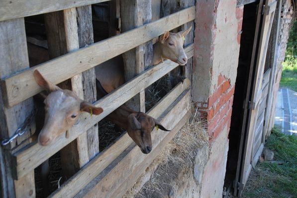 Les chèvres du Prince