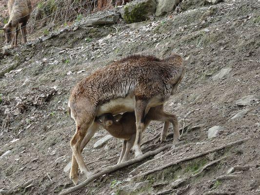 Parc-Ours-mouflonne-BORCE