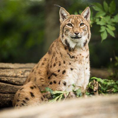 Zoo-labenne-Lynx-OTI LAS